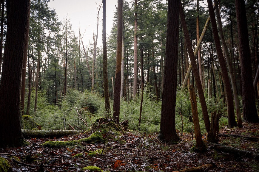Tall evergreen trees in a dark forest