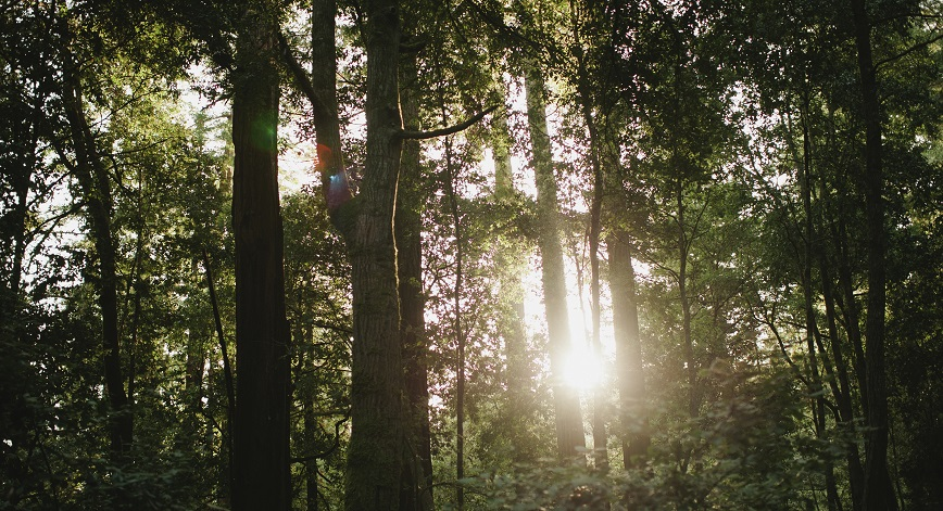 Tall trees with sunshine shining through